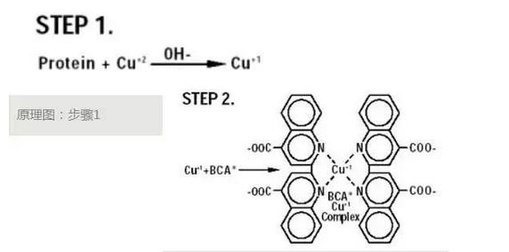 蛋白质定量:(BCA法)